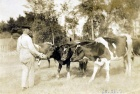 Walter Emerson and cows.68.21.9.jpg